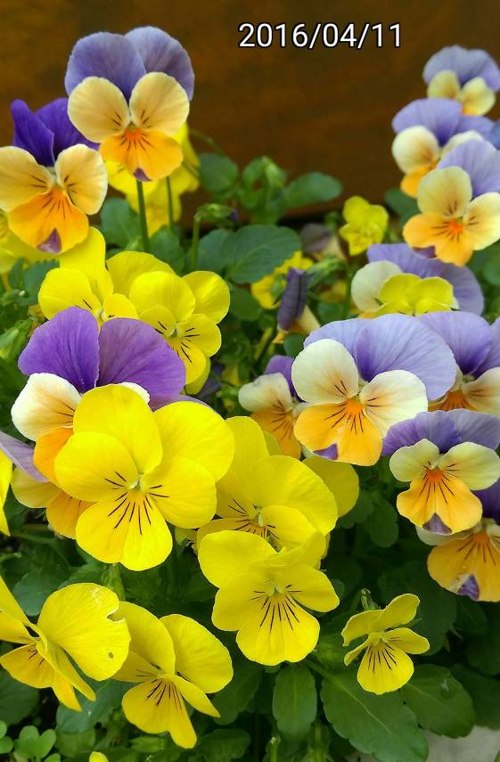 三色菫、三色堇、Viola tricolor,  heartsease, heart